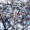 桜が咲いたので三ッ池公園にってきた
